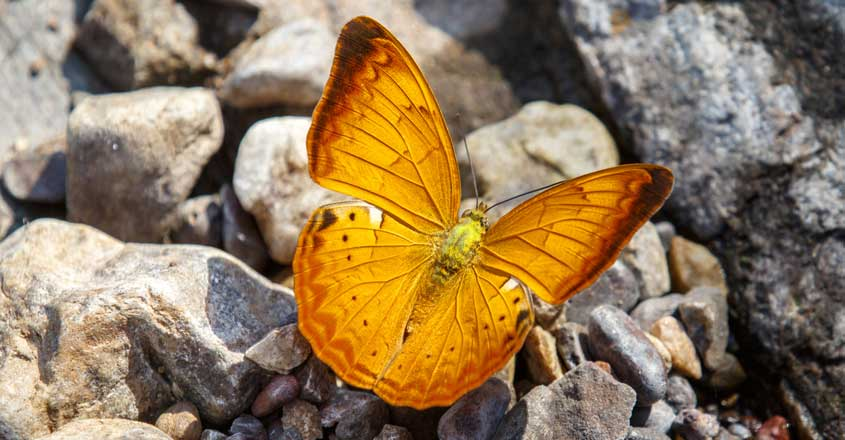|Tamil yeoman declared Tamil Nadu's state butterfly