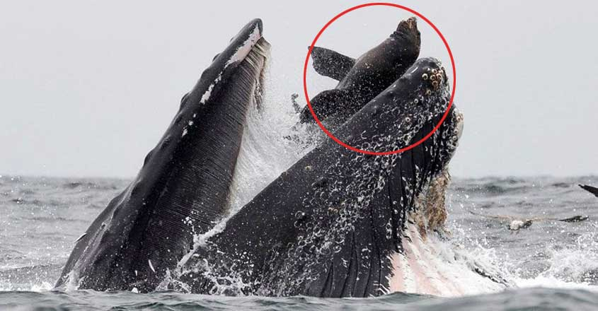 Sea Lion Ended Up in a Whale's Mouth