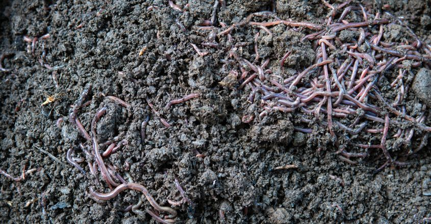 Mass death of earthworms in Wayanad