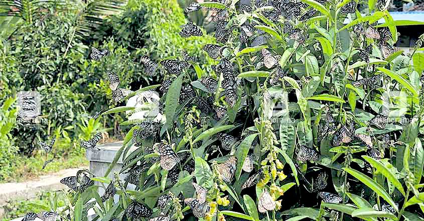 butterflies sighted in Wayanad
