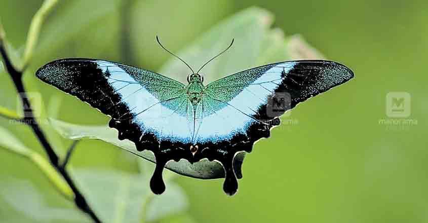 butterfly-kalamassery