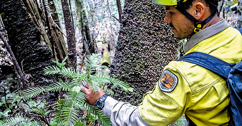 Australia's Last-Standing 'Dinosaur Trees'