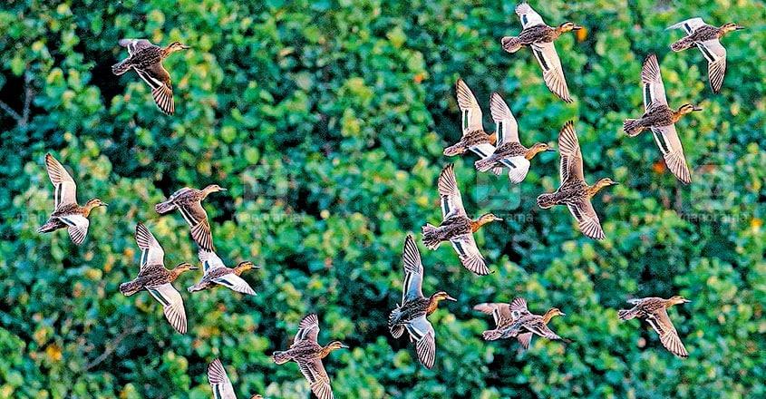 Migratory birds in Perumbavoor