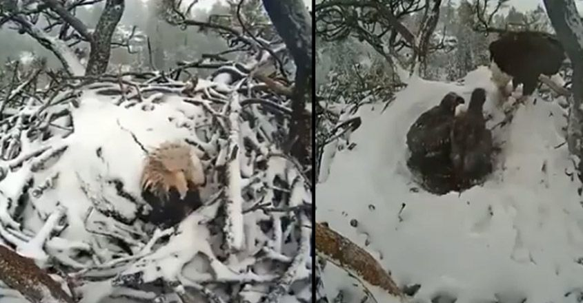 Eagle Covered in Snow