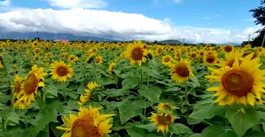 Sunflowers in full bloom at Churanda