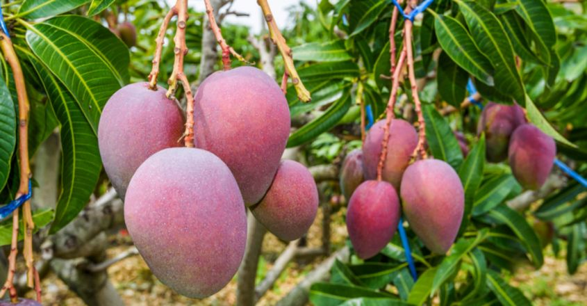 In MP, Army Of Guards, Dogs Hired To Protect 7 Miyazaki Mangoes; Price Will Blow You Away