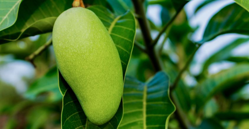 This Mango Cultivated In Madhya Pradesh Costs Up To ₹ 1,000 Per Piece