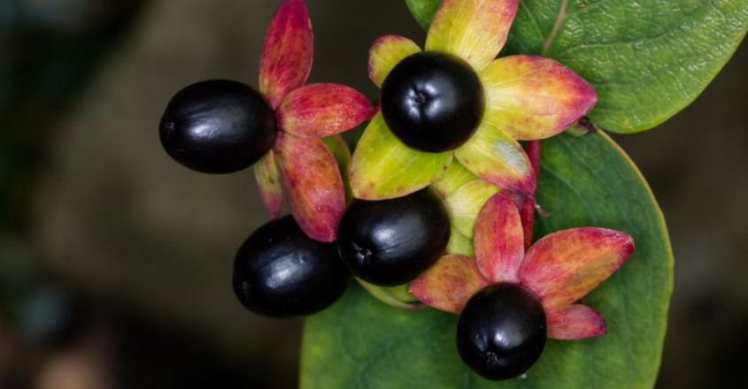 Beware The Deadly Nightshade The Beautiful Plant That Can Kill You