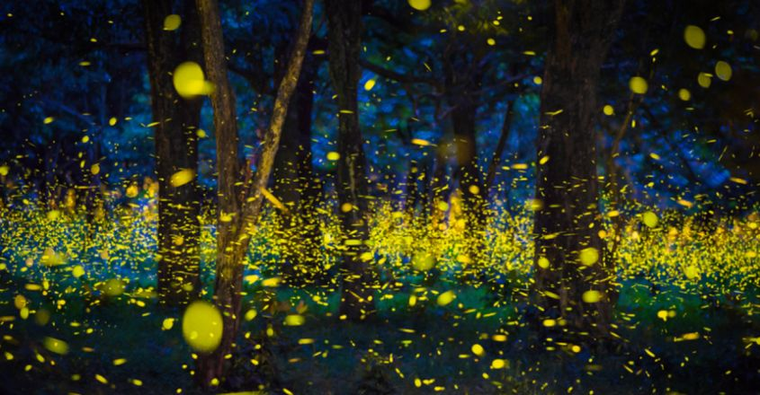 : Fireflies threatened globally, with light pollution a glaring problem