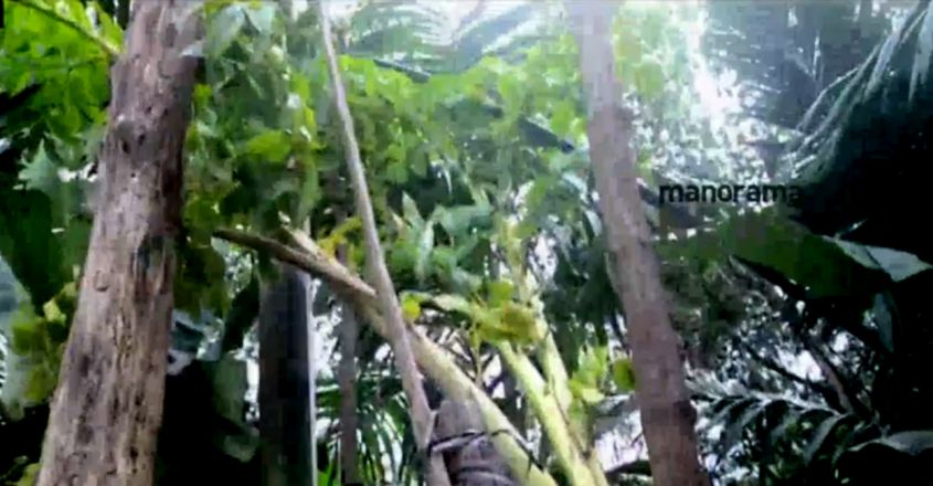 12-ft-tall yam plant pulls crowd in Kasaragod; farmer tries to bag world record