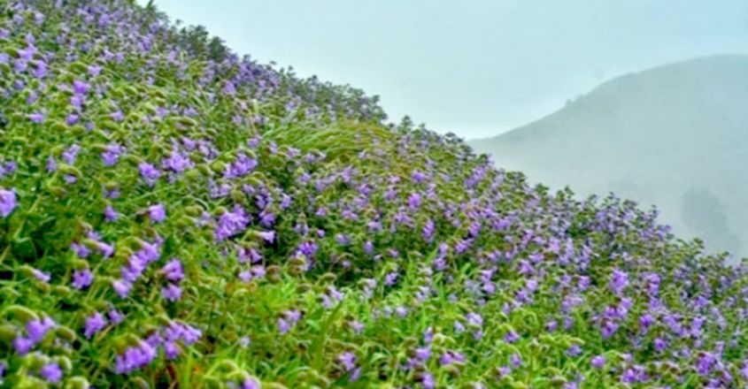 Rare And Beautiful Neelakurinji Flowers That Bloom Once Every 12 Years Come To Life In Coorg