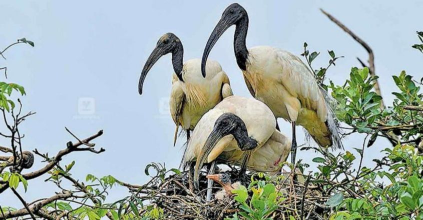 Black headed ibis found and breeding at Mavoor
