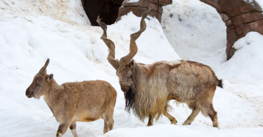 No Border Can Stop Them: Pakistan's National Animal Markhors Visit India As Guests Of Honour