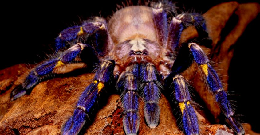 The Mystery of Tarantulas' Brilliant Colour Schemes May Finally Be Solved