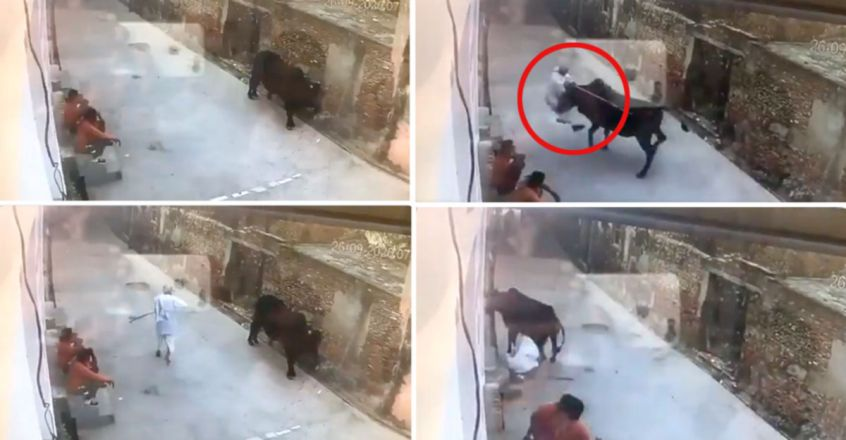 Bull attacks old man after he beats it with stick