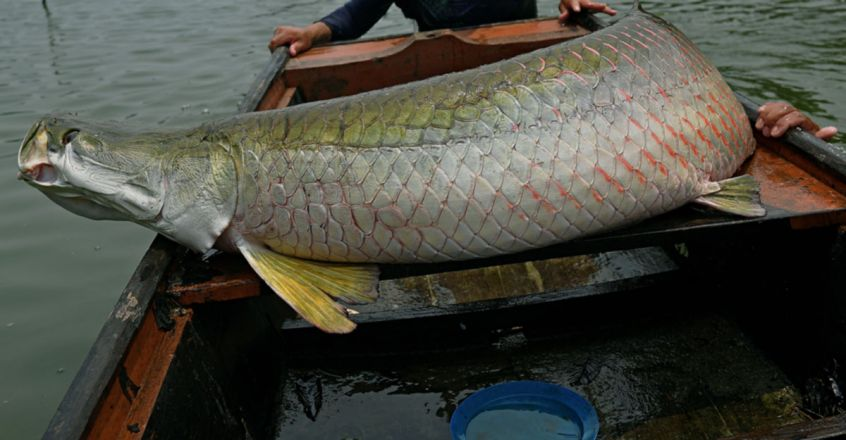 The largest fish in the world's biggest river