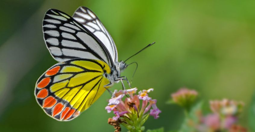 Campaign to select country's national butterfly