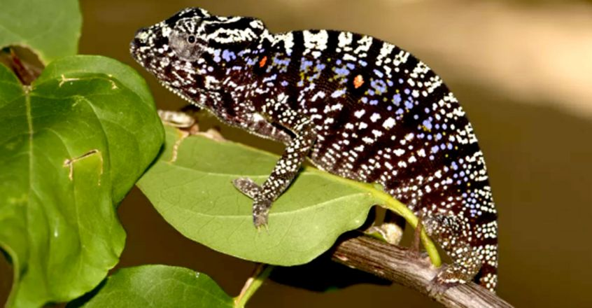 'Lost' chameleon rediscovered after a century in hiding. And it's spectacular