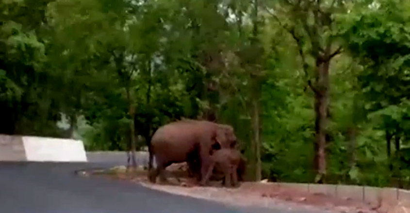 Baby Elephant and mother spotted in Nadukani