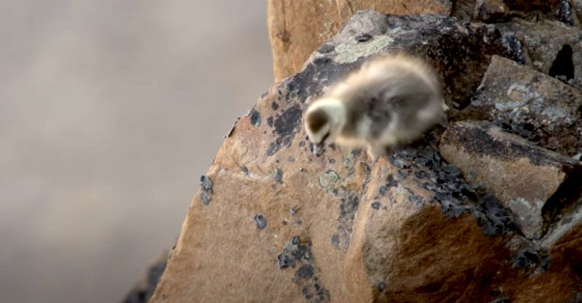 Why day old geese jump off cliffs and how some survive