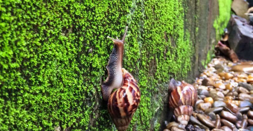 Giant African snail's fast spread alarms Kerala
