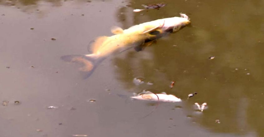 arge number of fish found dead in river due to water pollution