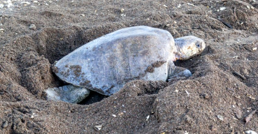 Endangered Olive Ridley sea turtles nest in peace at Punnayur beach
