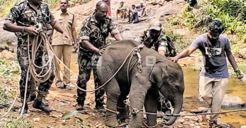 Stranded elephant calf's mother killed in tiger attack