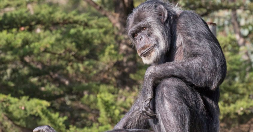 Cobby, oldest chimpanzee in North American zoos, dies aged 63