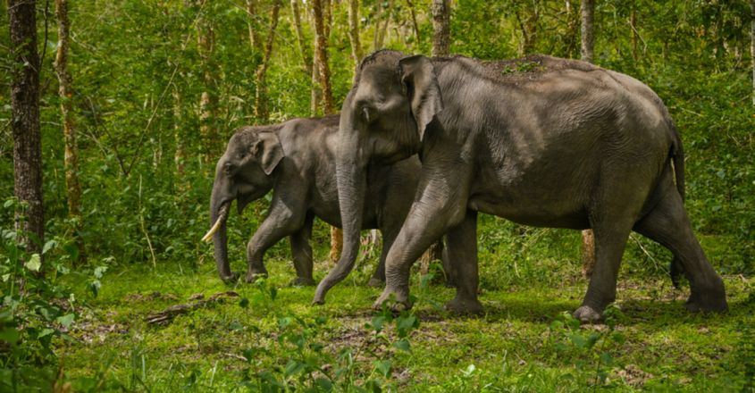 Wild elephants chased back into the safety of the forest