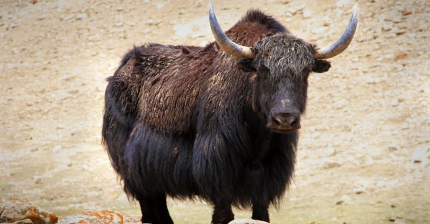 In a first, Himalayan yaks to be insured