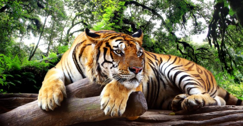 lobal Tiger Day 2021: India's Story Of Successful Tiger Conservation