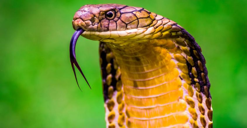 does-king-cobra-not-eat-monitor-lizard-the-secrets-of-forests1