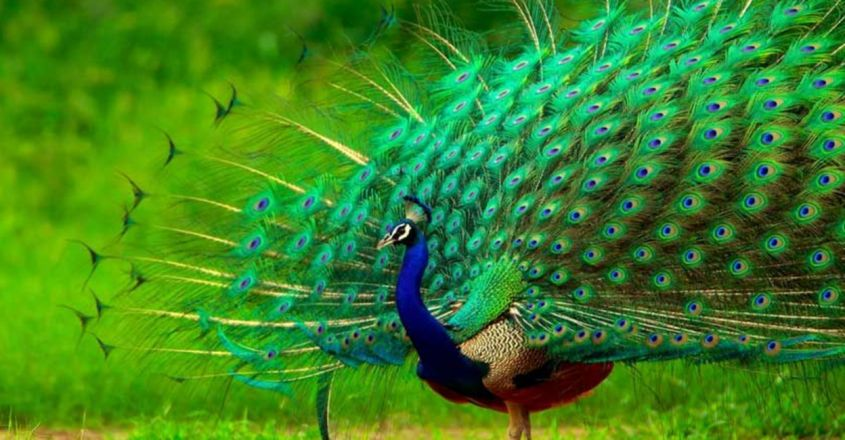 Peacocks are becoming more common in Kerala. And that's not a good sign