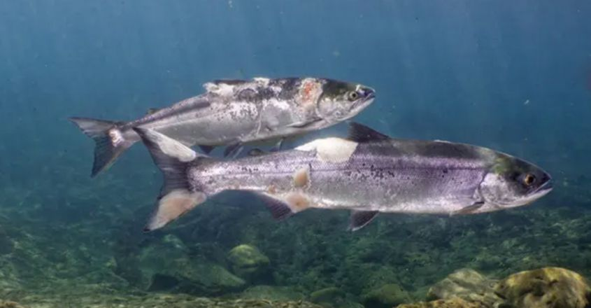 Video shows salmon injured by unlivable water temperatures after heatwave