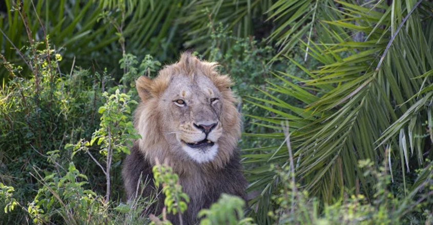 Lion appears to smirk at photographer after scaring him with loud roar