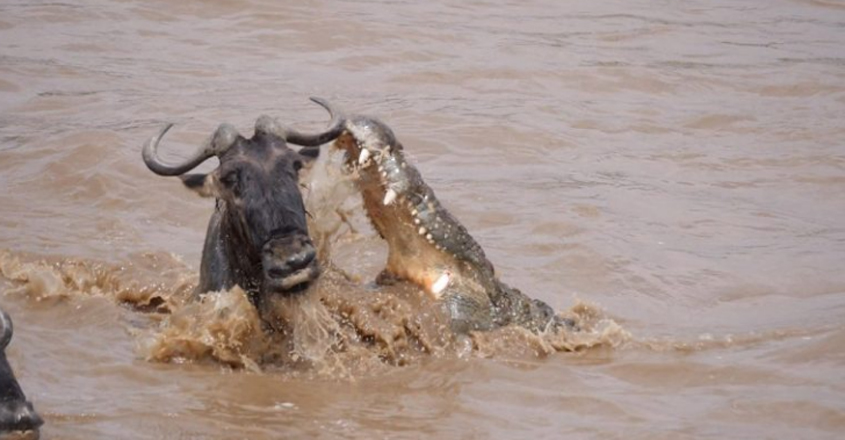 A wildebeest escapes the jaws of an attacking crocodile