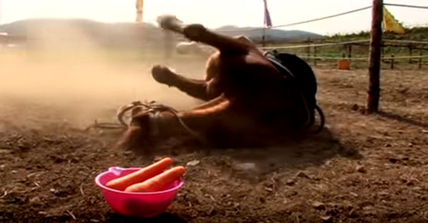 Horse Plays Dead When People Try To Ride Him