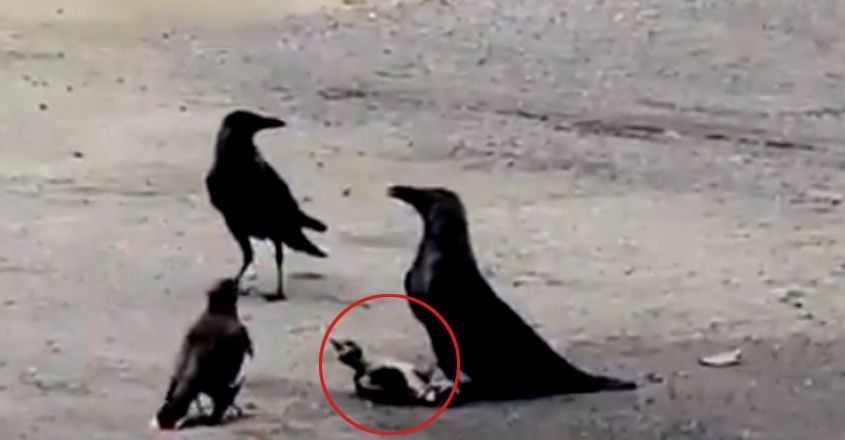 Mynah fights fierce battle with crows to save baby bird