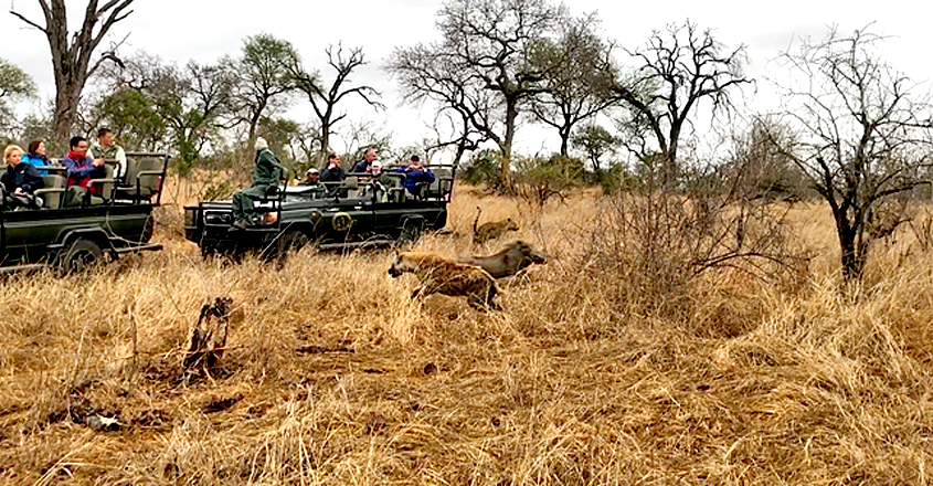 Hyena Saves Warthog from Leopard