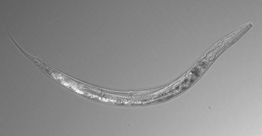Otherworldly worms with three sexes discovered in Mono Lake