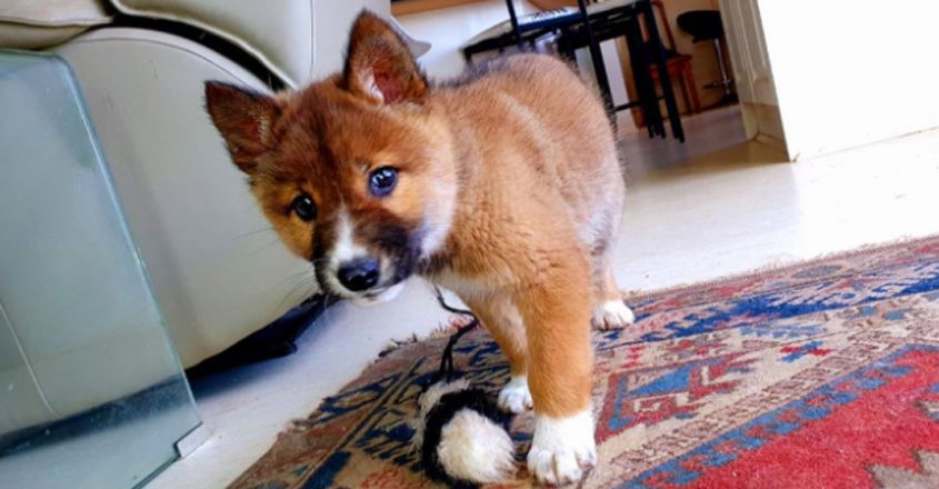 : 'Adorable' stray dog turns out to be rare purebred dingo