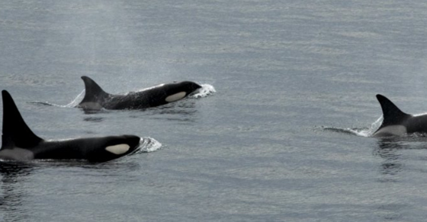 Orcas Chasing Off The Ocean's Most Terrifying Predator