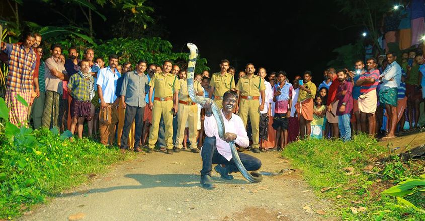 Vava Suresh rescues 171st King Cobra from Ranni