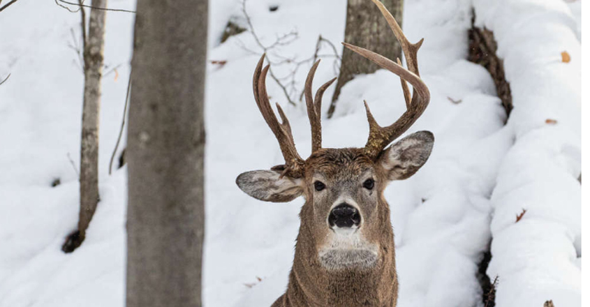 Rare Stag With Three Antlers Spotted In Michigan