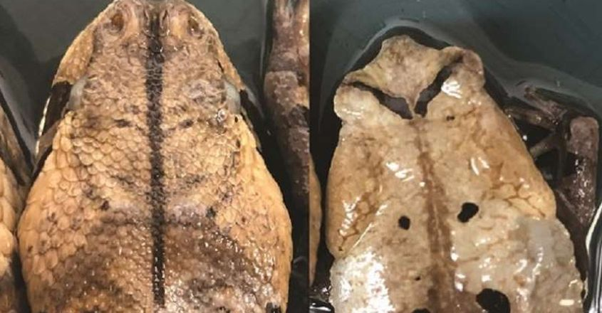 Congolese giant toads may mimic venomous snakes to trick predators