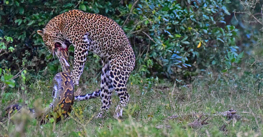 Leopard And Python Caught In A Death Match