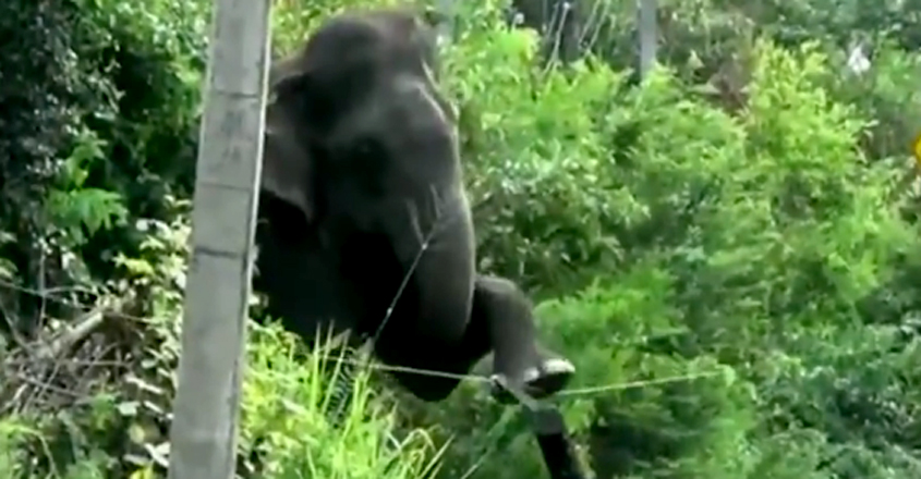 Elephant breaks electric fence using a brilliant technique