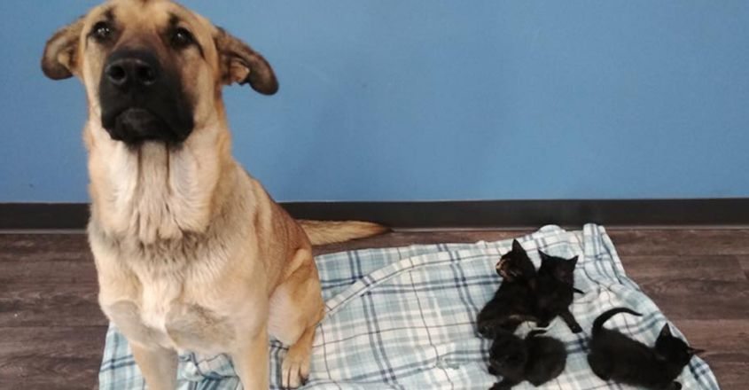 Stray Dog Found Covered In Snow, Keeping Abandoned Kittens Warm
