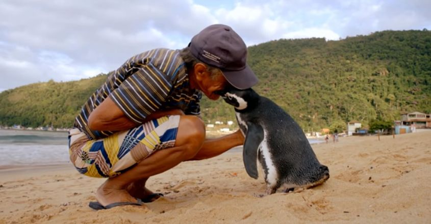 Dindim, The Penguin, Travels Every Year To Meet The Man Who Saved It Years Ago